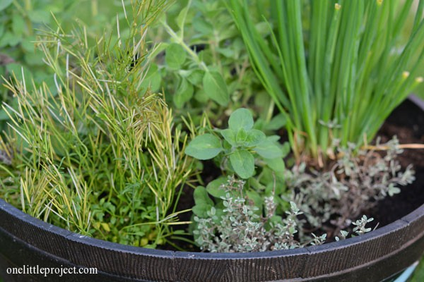 Transplanting a pot of herbs from the garden