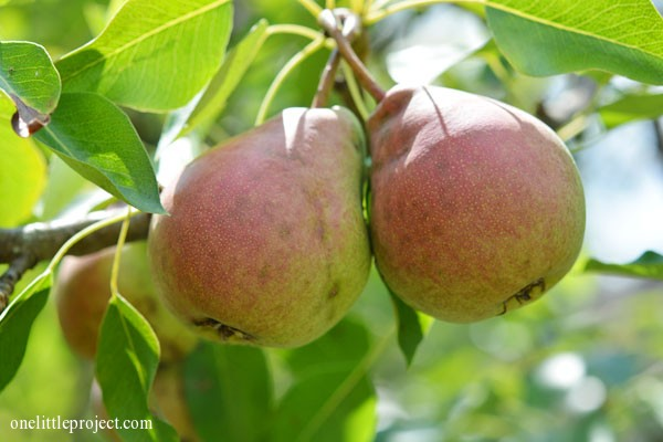 two pears on a pear tree